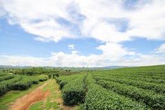 Choui Fong茶农场,清莱泰国 免版税图库摄影