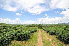 Choui Fong茶农场,清莱泰国 图库摄影