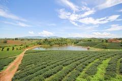 Choui Fong茶农场,清莱泰国 免版税库存图片