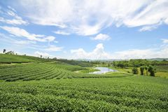 Choui Fong茶农场,清莱泰国 免版税库存照片