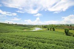 Choui Fong茶农场,清莱泰国 库存照片