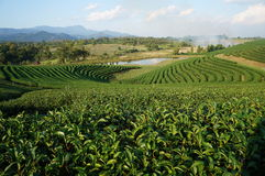 Choui Fong茶Co 图库摄影