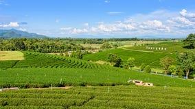 Choui Fong herbaciana plantacja Zdjęcie Royalty Free
