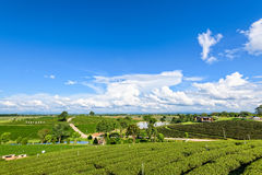 Choui Fong herbaciana plantacja Obraz Stock