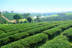 Choui Fong Oolong Tea Garden Chiang Rai, Tailandia Imagen de archivo