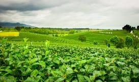 Choui Fong Tea Royalty Free Stock Photos