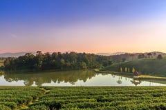 Choui Fong Tea farm Royalty Free Stock Image