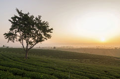 Choui Fong Tea field when sunrise Stock Images
