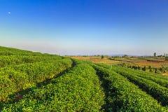 Choui Fong Tea lantgård Arkivbild