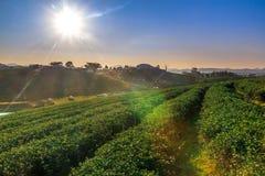 Choui Fong Tea lantgård Fotografering för Bildbyråer