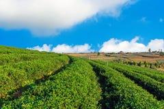 Choui Fong Tea lantgård Royaltyfri Fotografi