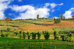 Choui Fong Tea lantgård Royaltyfria Bilder