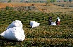 Choui Fong Tea Pickers and Pineapples Stock Photo