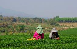 Choui Fong Tea Pickers Royalty Free Stock Photography