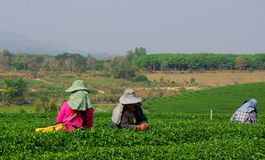 Choui Fong Tea Pickers Royalty Free Stock Photos