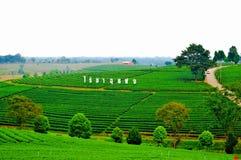 Choui Fong Tea Plantation, Chiang Rai, Thailand lizenzfreie stockbilder