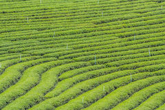 Choui Fong Teeplantage Lizenzfreie Stockfotos