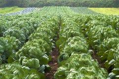 Choux de Bruxelles s'élevant dans les rangées dans le domaine de ferme à Portland, Orégon Images libres de droits