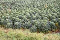 Choux de Bruxelles s'élevant sur les terres cultivables R-U Image libre de droits