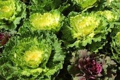 Choux-fleurs ornementaux Images stock