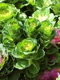 Choux-fleurs ornementaux Photographie stock libre de droits