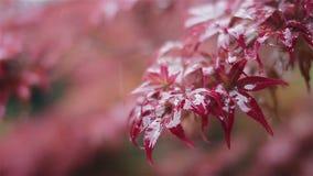 Chova a gota em uma folha vermelha em um dia chuvoso em China video estoque