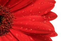Chova gotas na margarida vermelha do Gerbera Fotografia de Stock Royalty Free