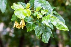 Chova gotas nas folhas verdes da árvore de cinza no outono Imagens de Stock