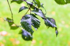 Chova gotas nas folhas verdes da árvore de olmo no outono Imagem de Stock
