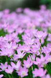 Chova o lírio (rosea feericamente do lírio, do Zephyranthes) florescendo no jardim, p Fotos de Stock