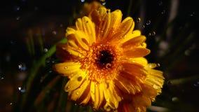 chover em uma flor video estoque