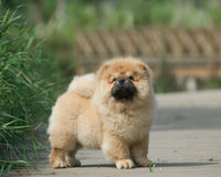 chow κατοικίδιο ζώο σκυλιών Στοκ φωτογραφία με δικαίωμα ελεύθερης χρήσης