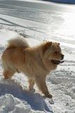 chow σκυλί στοκ εικόνα με δικαίωμα ελεύθερης χρήσης
