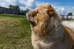 Chow-chow σκυλιών κινηματογράφηση σε πρώτο πλάνο, δευτερεύον σχεδιάγραμμα στοκ φωτογραφία με δικαίωμα ελεύθερης χρήσης