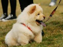 chow χαριτωμένο σκυλί Στοκ Εικόνες