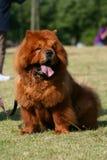 chow χαριτωμένο σκυλί Στοκ εικόνες με δικαίωμα ελεύθερης χρήσης