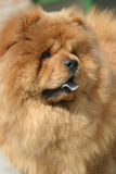 Chow. A Chow out of doors Royalty Free Stock Photos
