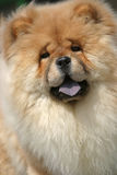 Chow. A Chow out of doors Stock Photo