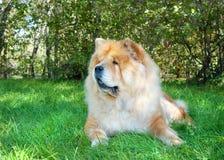 Chow-Chow σκυλί στο πάρκο πόλεων στοκ φωτογραφία με δικαίωμα ελεύθερης χρήσης