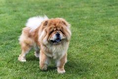 Chow - chow σκυλί που μένει στον πράσινο τομέα Στοκ Εικόνα