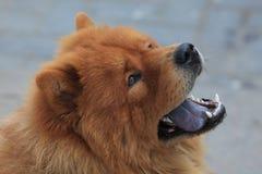 Chow Chow σκυλί Στοκ Φωτογραφίες