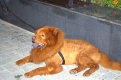 Chow Chow σκυλί Στοκ Εικόνες