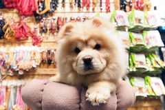Chow Chow. Brown chow chow head on portrait shot Stock Photography