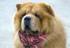 Chow-chow Stock Photos