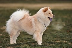 Chow chow royalty free stock photos
