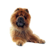 Chow-chow Royalty Free Stock Photography