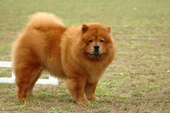 Chow-chow Stock Foto