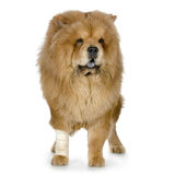 Chow-chow royalty-vrije stock foto