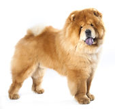 Chow chow Stock Image