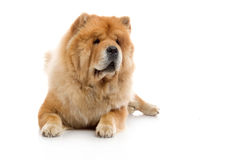 Chow-Chow Stock Images